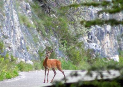 Fauna Sibillini Capriolo
