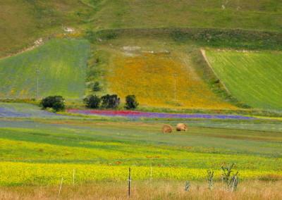 fioritura castelluccio 2015