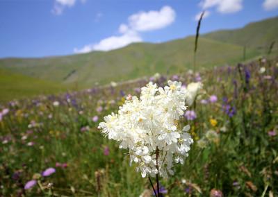 Flowering Castelluccio 2016