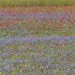 fioritura castelluccio 2013