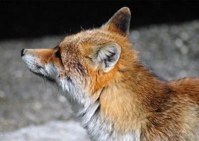 Fauna Sibillini Volpe
