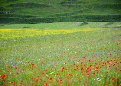 fioritura-castelluccio-2018-05-31-07