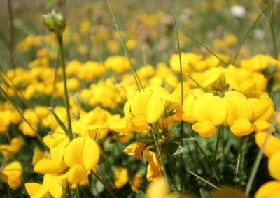 fioritura Castelluccio 20 giugno 2019