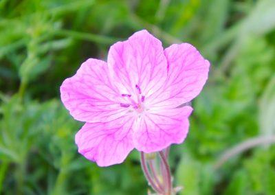 fioritura spontanea 06 giugno 2019