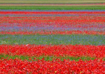 fioritura-castelluccio-09-luglio-2020-06