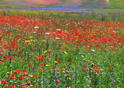 fioritura-castelluccio-09-luglio-2020-11
