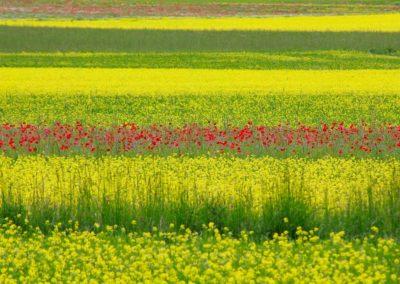 fioritura-castelluccio-11-06-2020-08