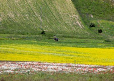 fioritura castelluccio 18 giugno 2020