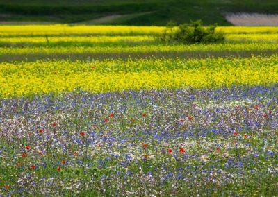 fioritura-castelluccio-18-06-20-08