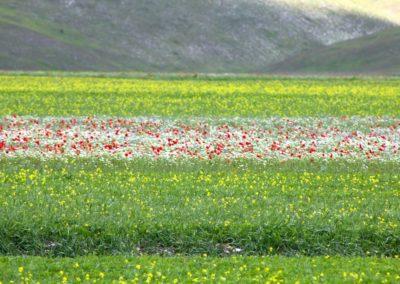 fioritura-castelluccio-2020-06
