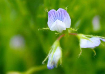 fioritura-castelluccio-25-giugno-2020-07